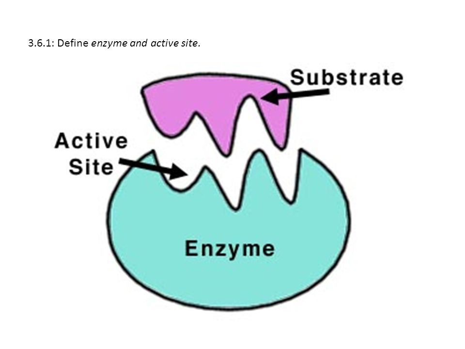 3.6.1: Define enzyme and active site.