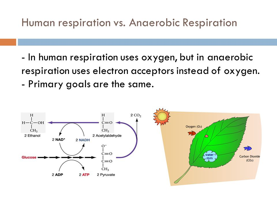 Human respiration vs. Anaerobic Respiration
