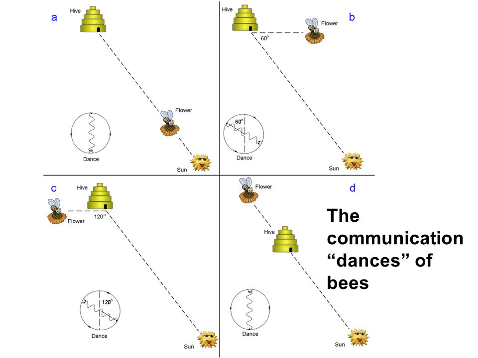 The communication dances of bees