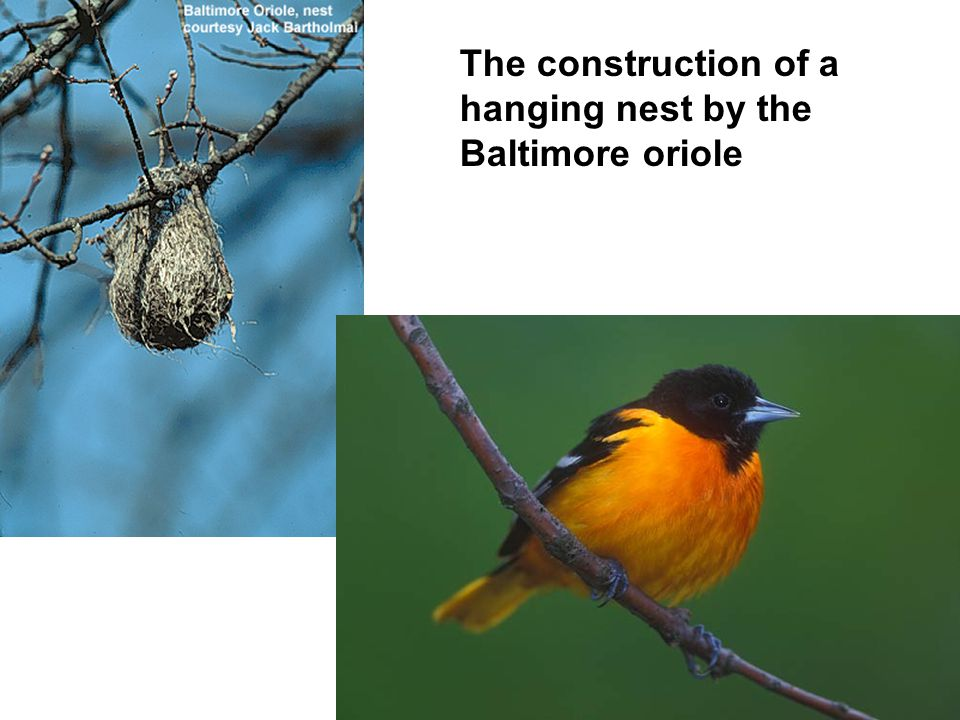 The construction of a hanging nest by the Baltimore oriole