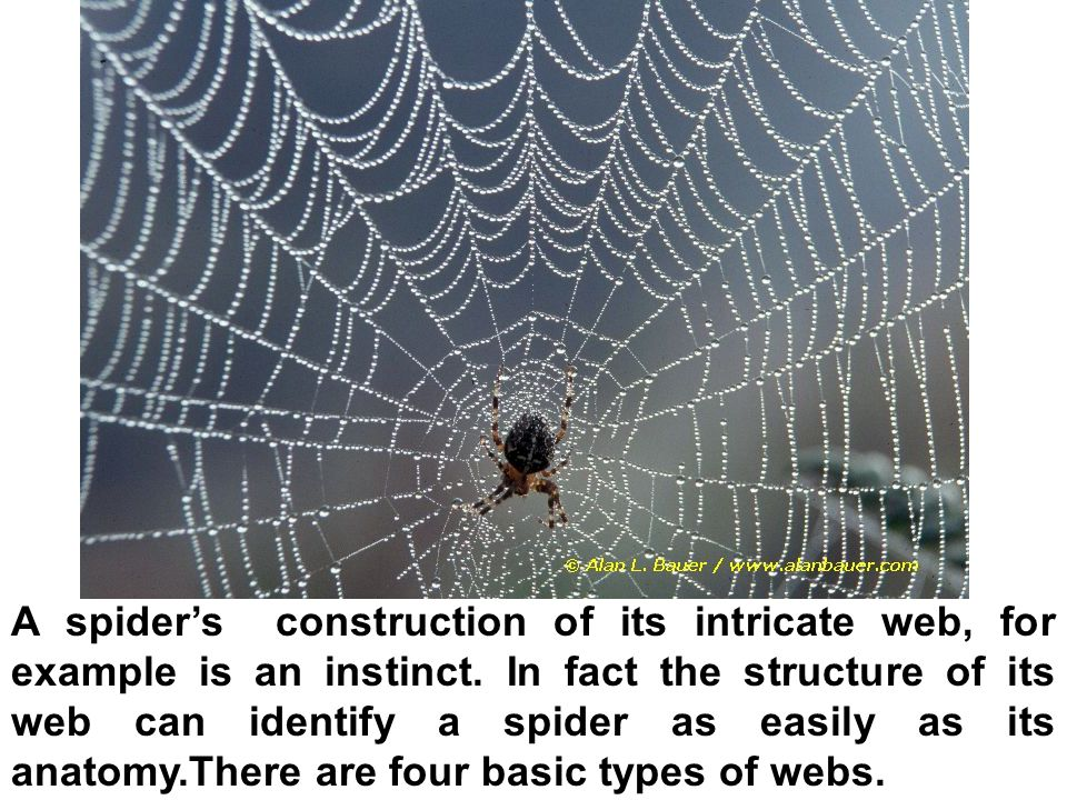 A spider's construction of its intricate web, for example is an instinct.