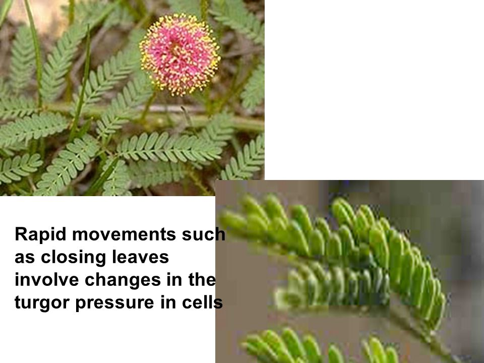 Rapid movements such as closing leaves involve changes in the turgor pressure in cells