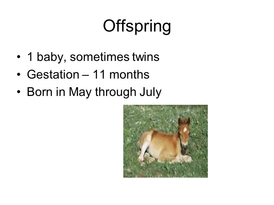 Offspring 1 baby, sometimes twins Gestation – 11 months