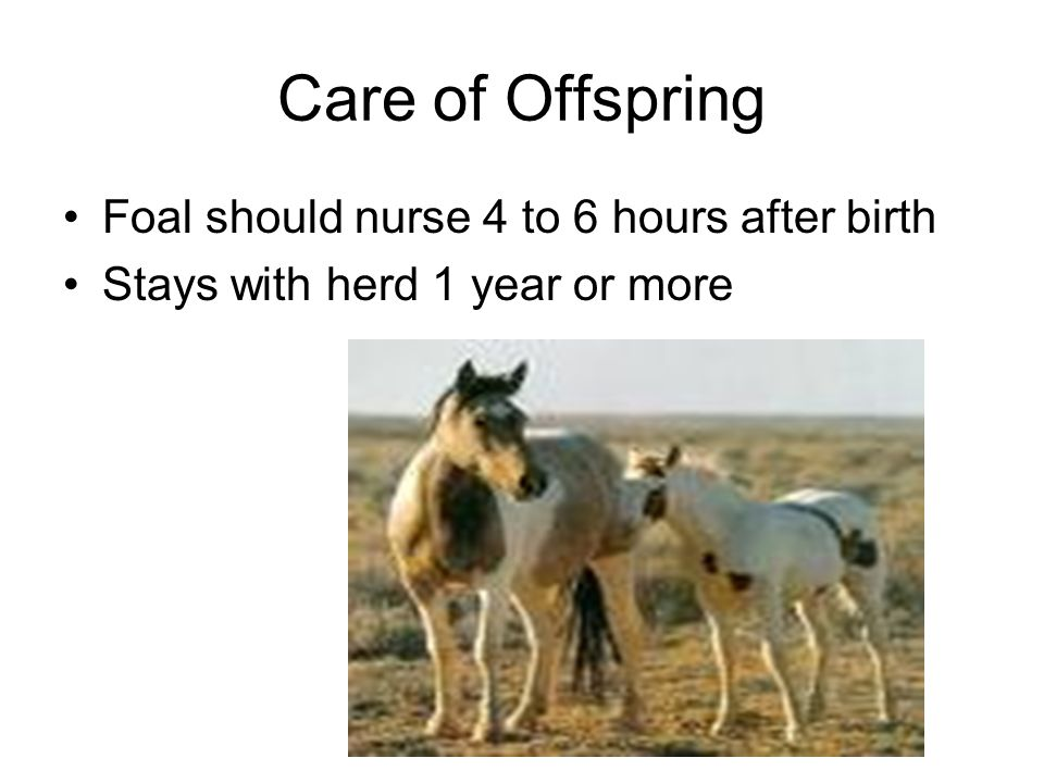 Care of Offspring Foal should nurse 4 to 6 hours after birth