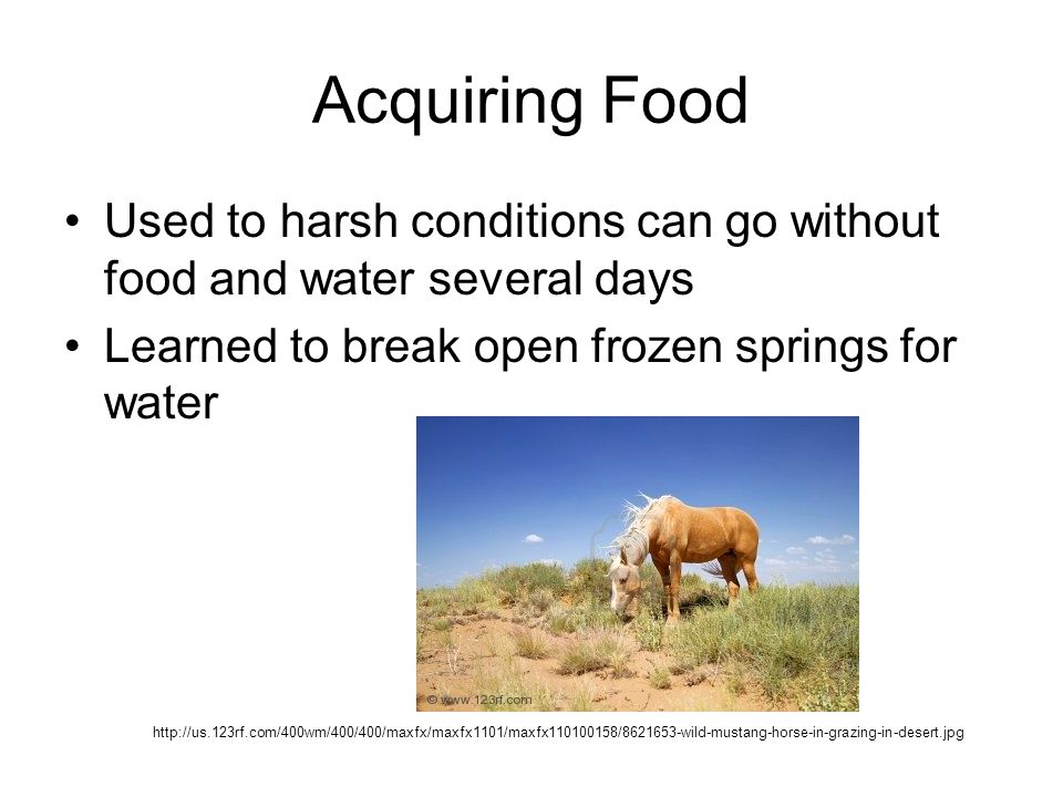 Acquiring Food Used to harsh conditions can go without food and water several days. Learned to break open frozen springs for water.