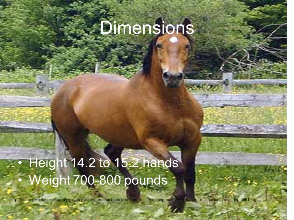 Dimensions Height 14.2 to 15.2 hands Weight 700-800 pounds