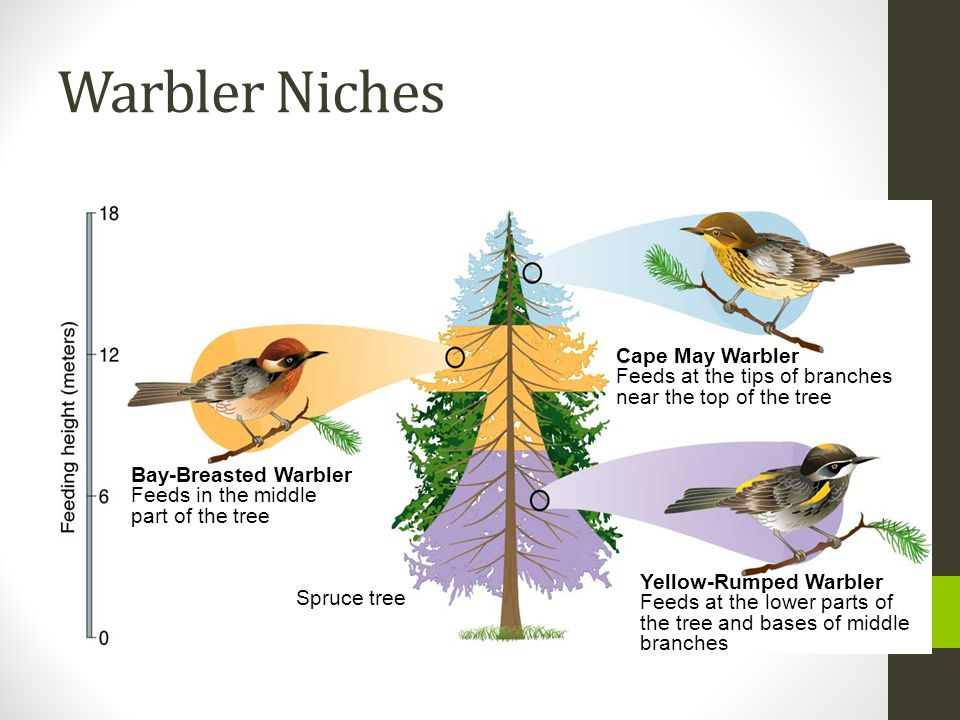 Warbler Niches Cape May Warbler Feeds at the tips of branches