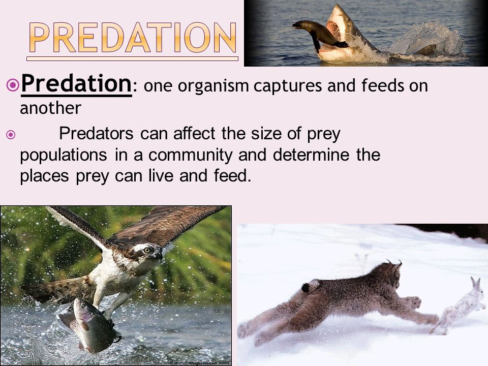Predation Predation: one organism captures and feeds on another