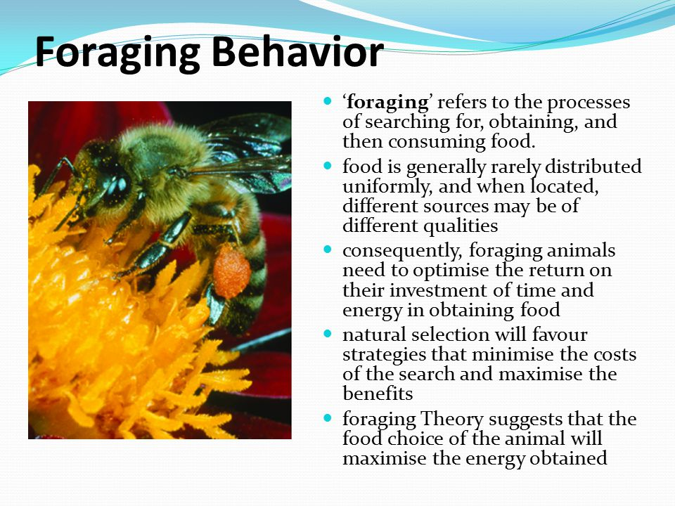 Foraging Behavior 'foraging' refers to the processes of searching for, obtaining, and then consuming food.