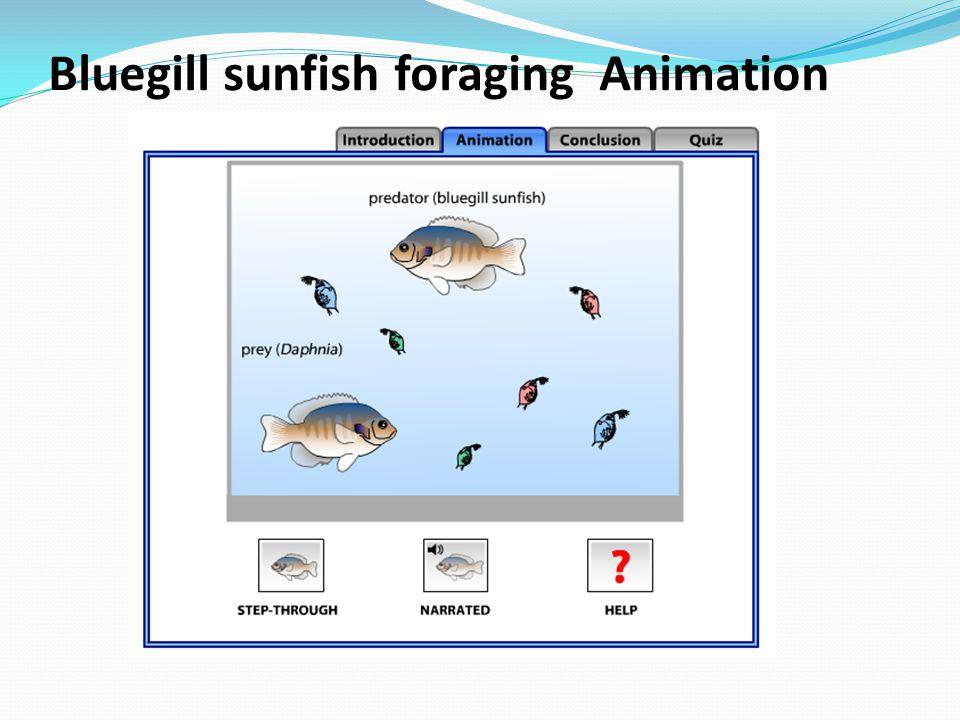 Bluegill sunfish foraging Animation