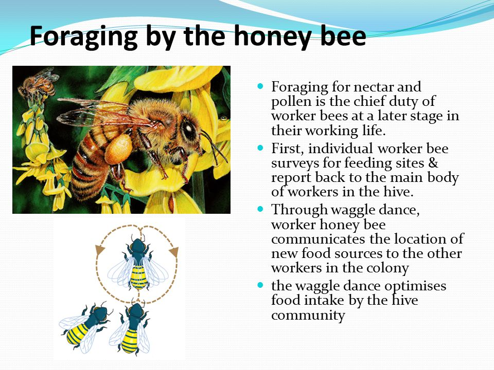 Foraging by the honey bee