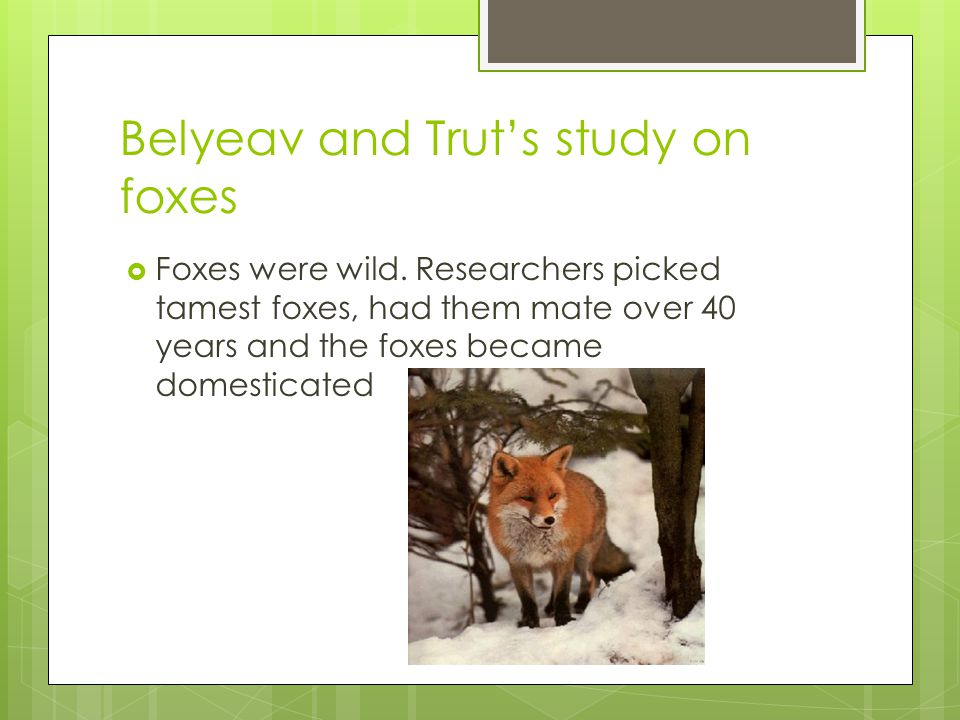 Belyeav and Trut's study on foxes