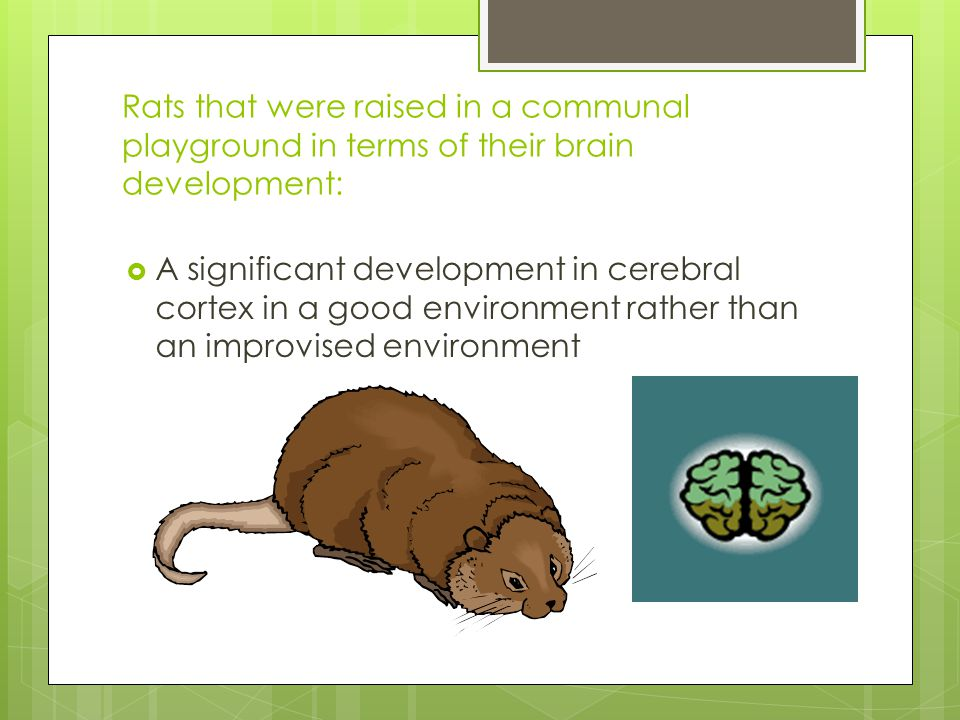 Rats that were raised in a communal playground in terms of their brain development: