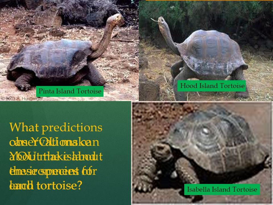What observations can YOU make about these species of land tortoise