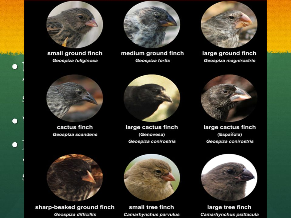 Darwin's Finches Darwin observed many different types of finch and noticed several different beak shapes.