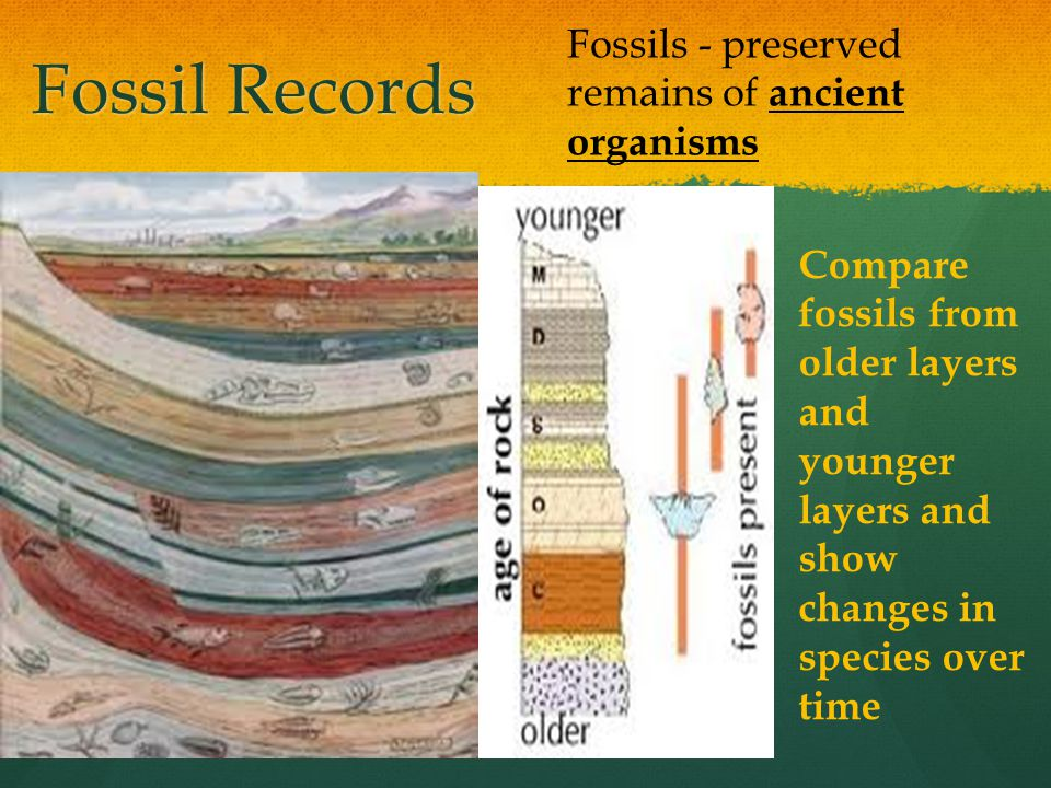 Fossil Records Fossils - preserved remains of ancient organisms