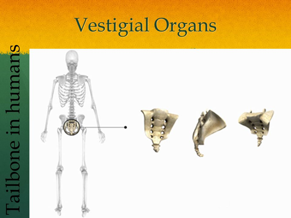 Vestigial Organs Tailbone in humans