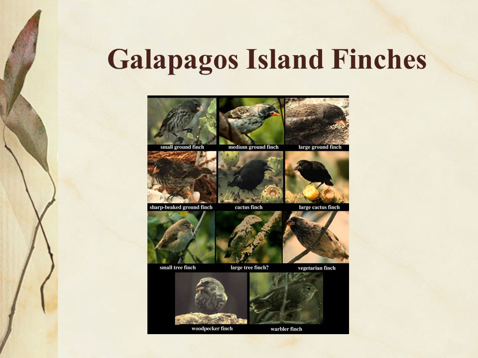 Galapagos Island Finches