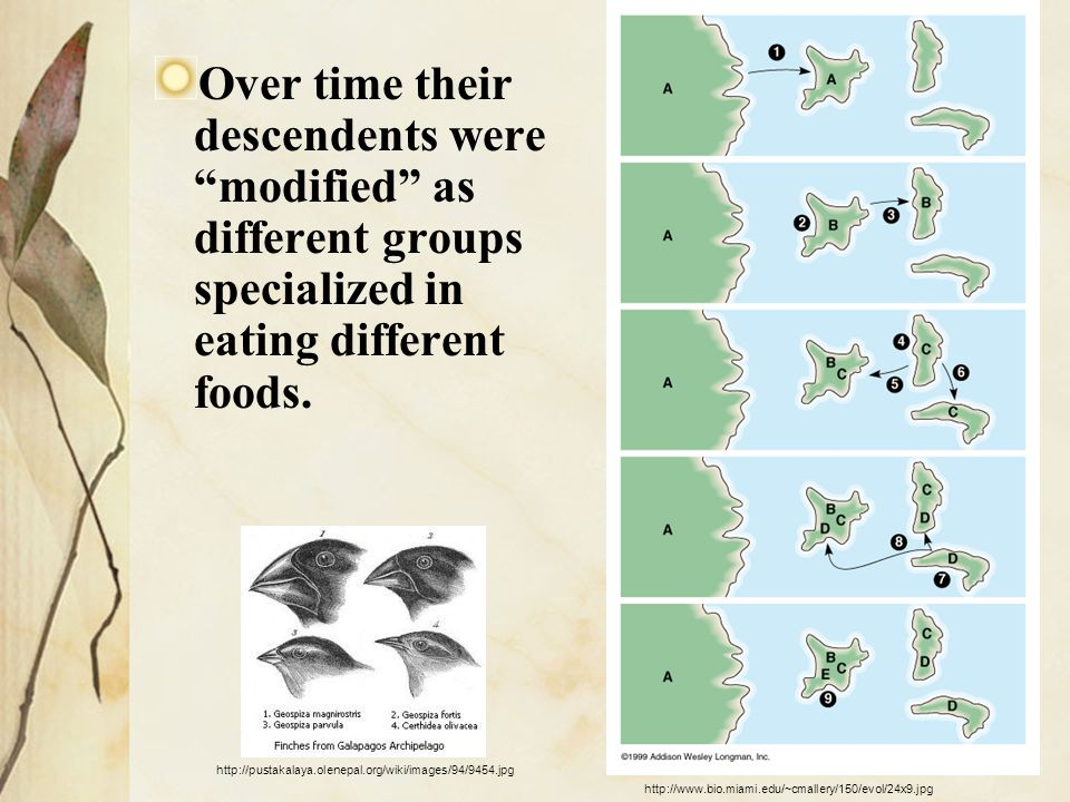 Over time their descendents were modified as different groups specialized in eating different foods.