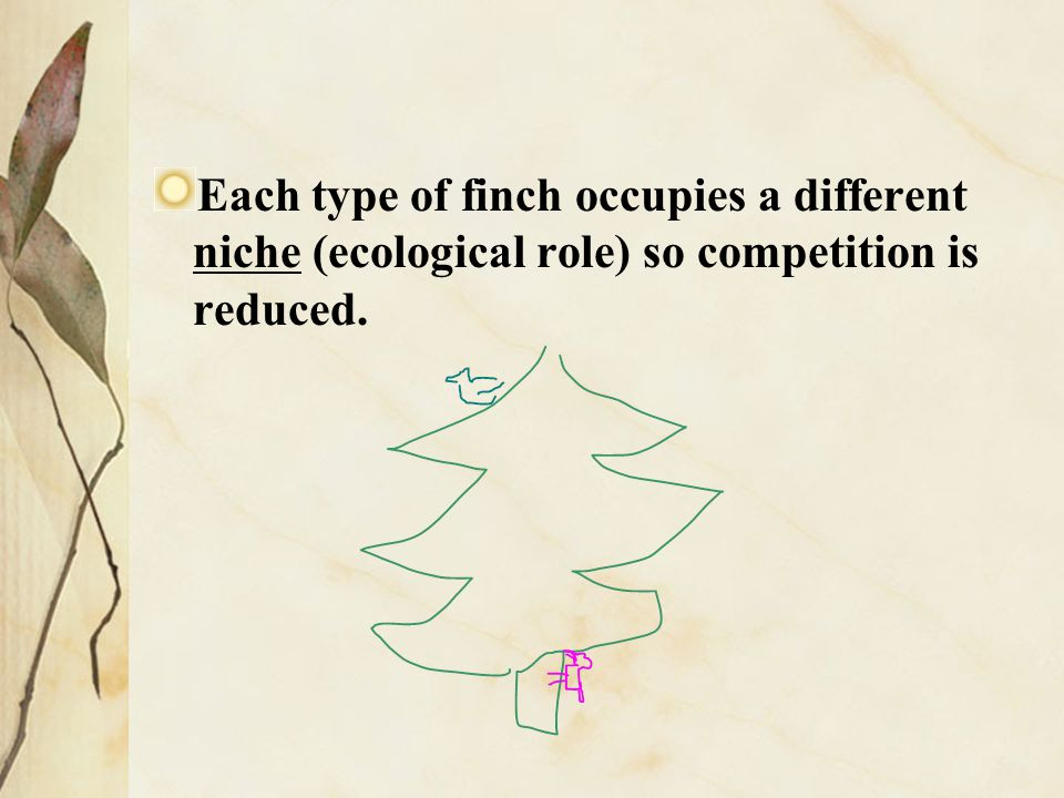 Each type of finch occupies a different niche (ecological role) so competition is reduced.