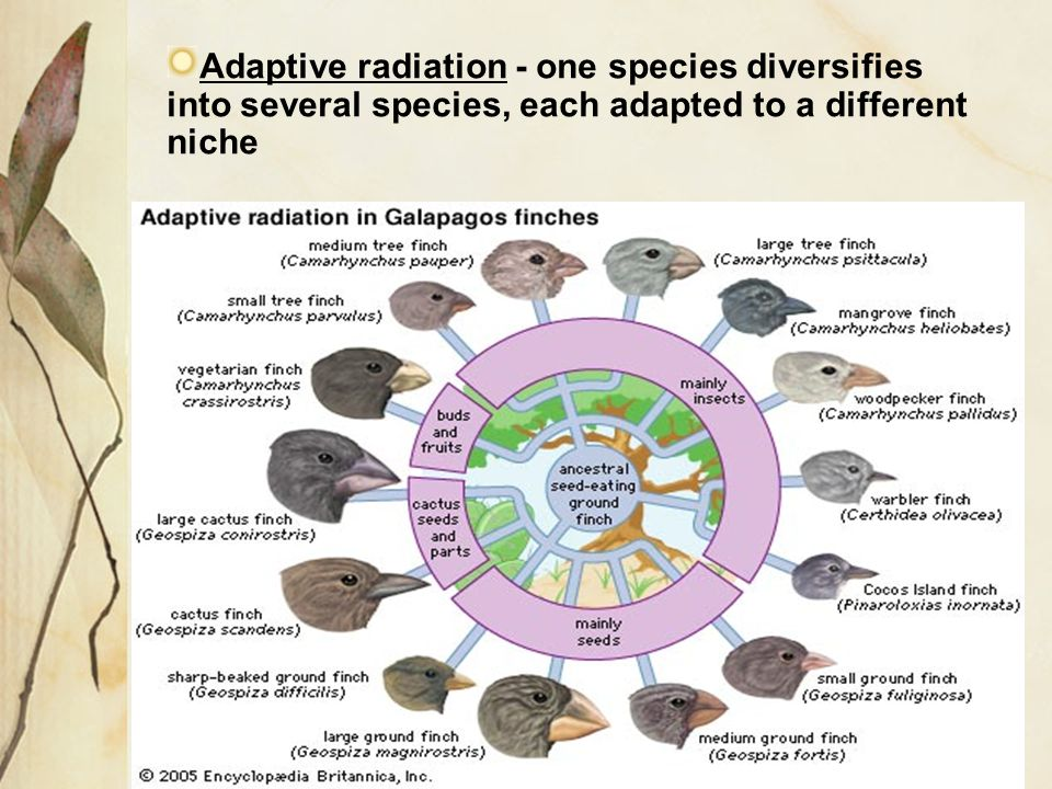 Adaptive radiation - one species diversifies into several species, each adapted to a different niche