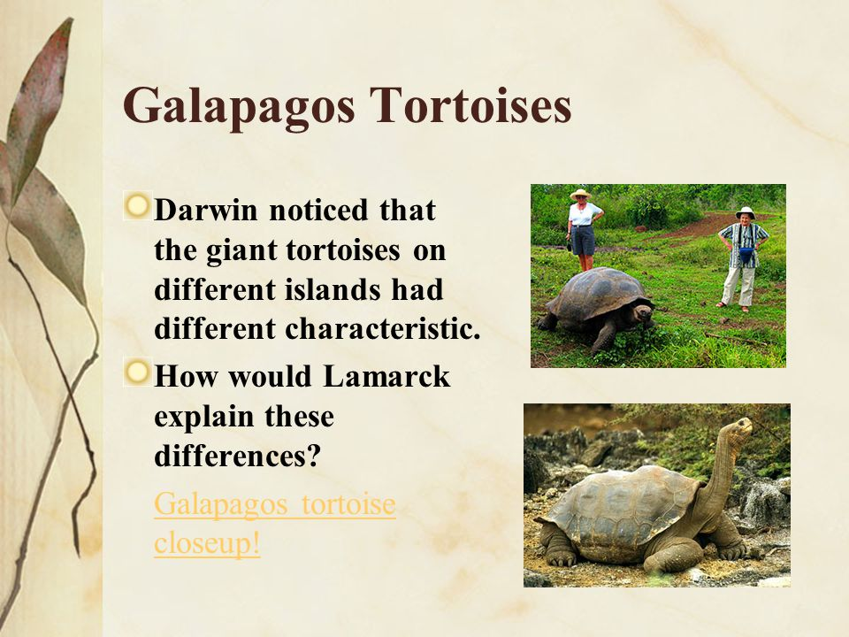 Galapagos Tortoises Darwin noticed that the giant tortoises on different islands had different characteristic.