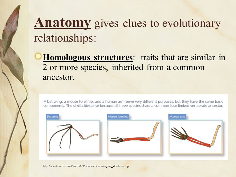 Anatomy gives clues to evolutionary relationships: