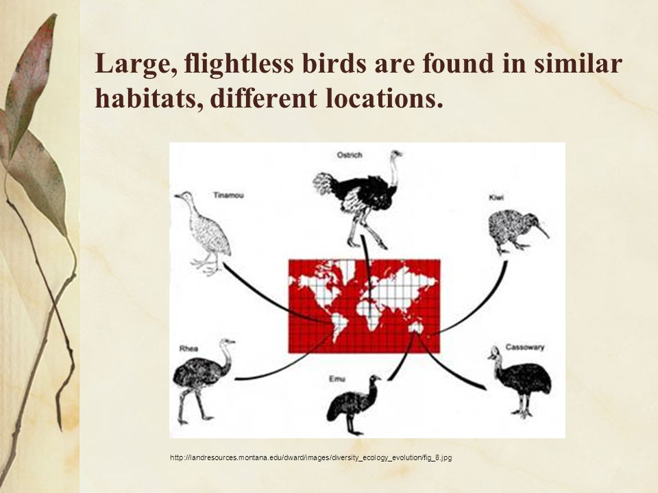 Large, flightless birds are found in similar habitats, different locations.