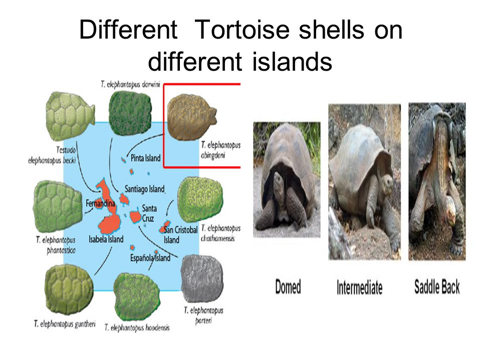 Different Tortoise shells on different islands