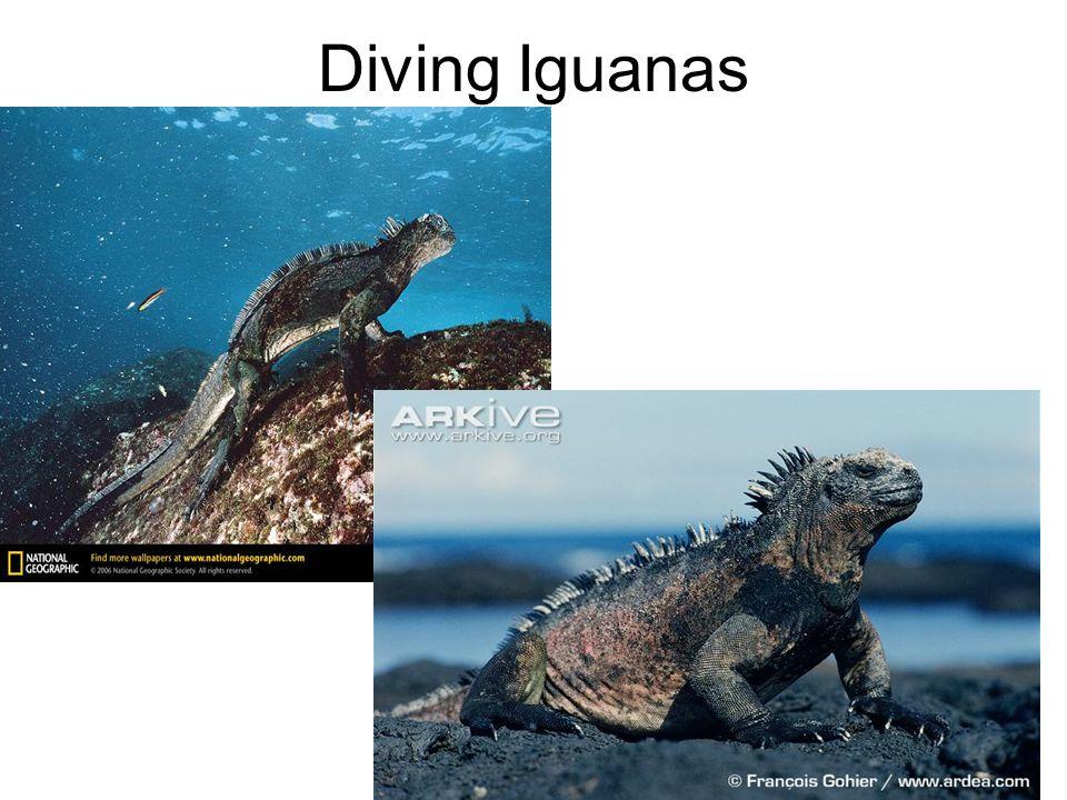 Diving Iguanas
