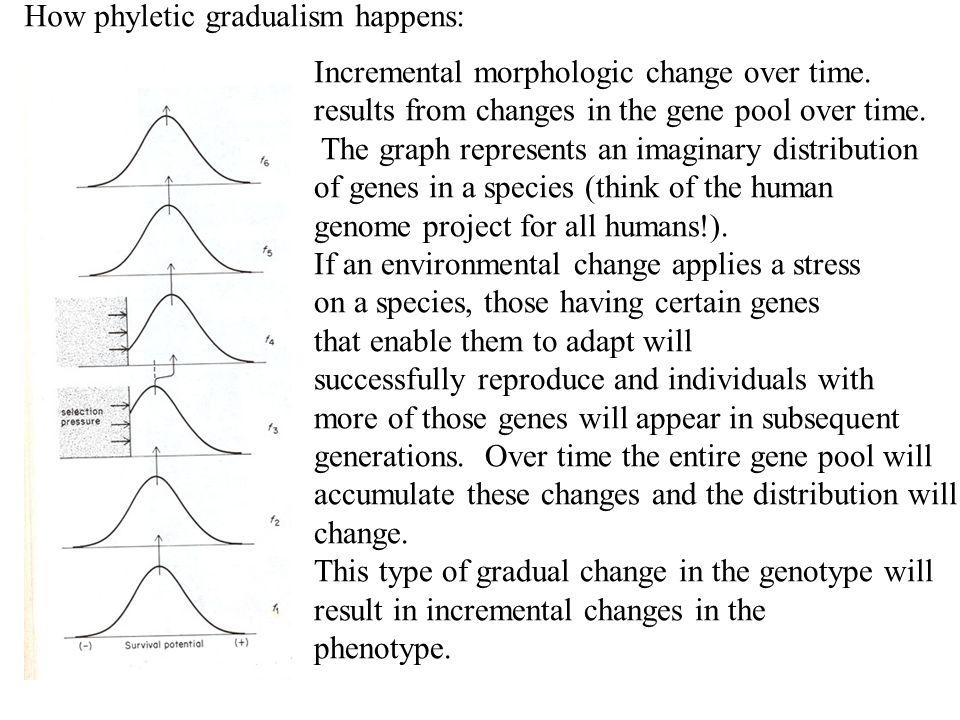 How phyletic gradualism happens:
