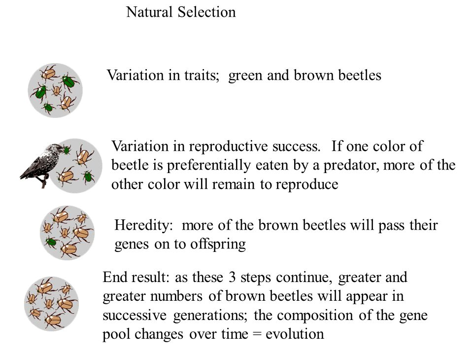 Natural Selection Variation in traits; green and brown beetles. Variation in reproductive success. If one color of.