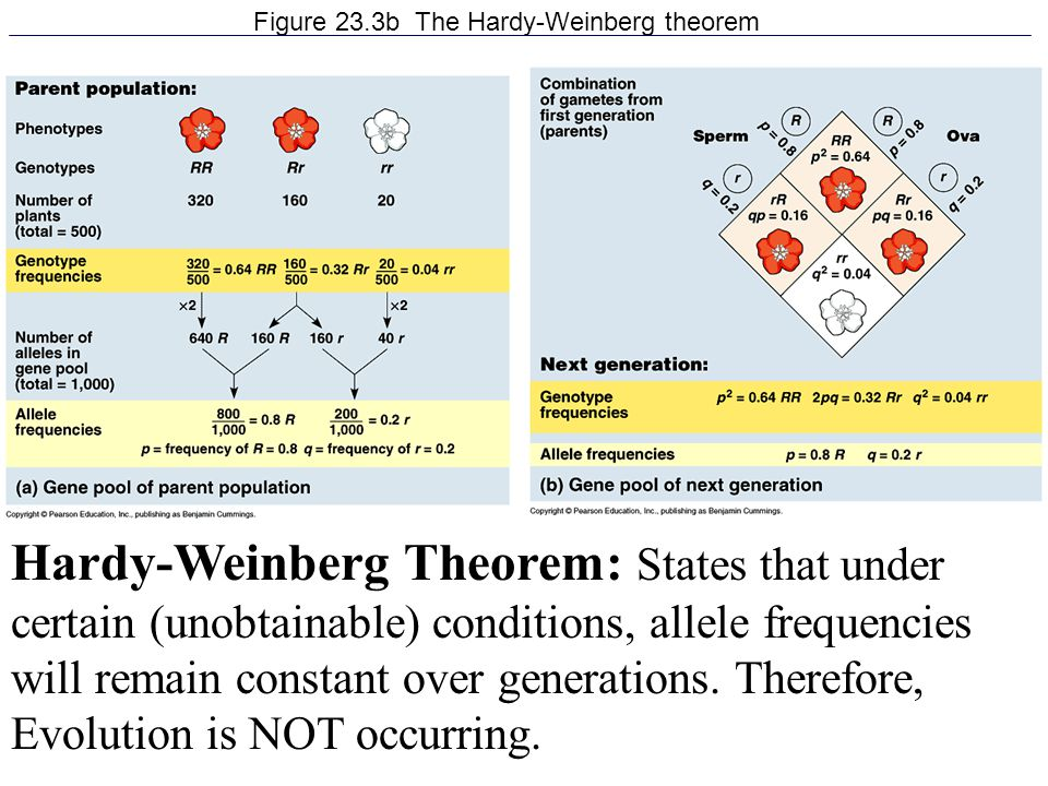 Figure 23.3b The Hardy-Weinberg theorem