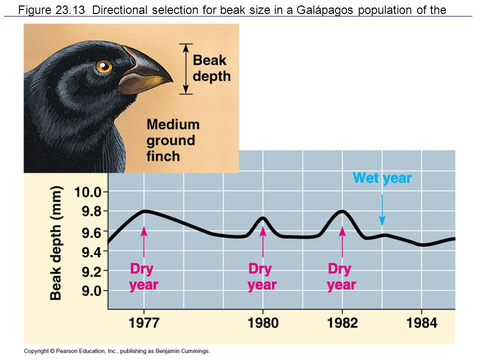 Figure 23.13 Directional selection for beak size in a Galápagos population of the medium ground finch