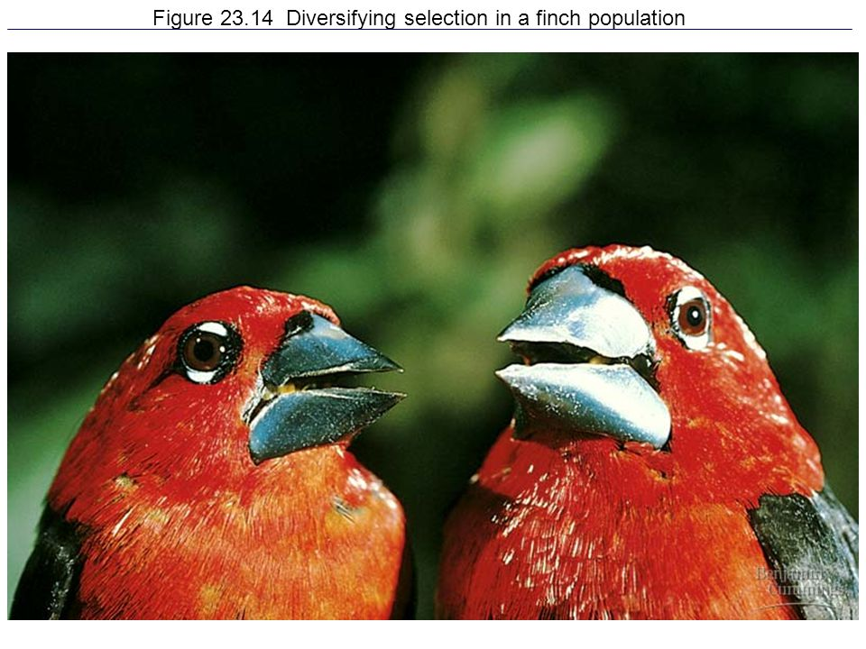 Figure 23.14 Diversifying selection in a finch population
