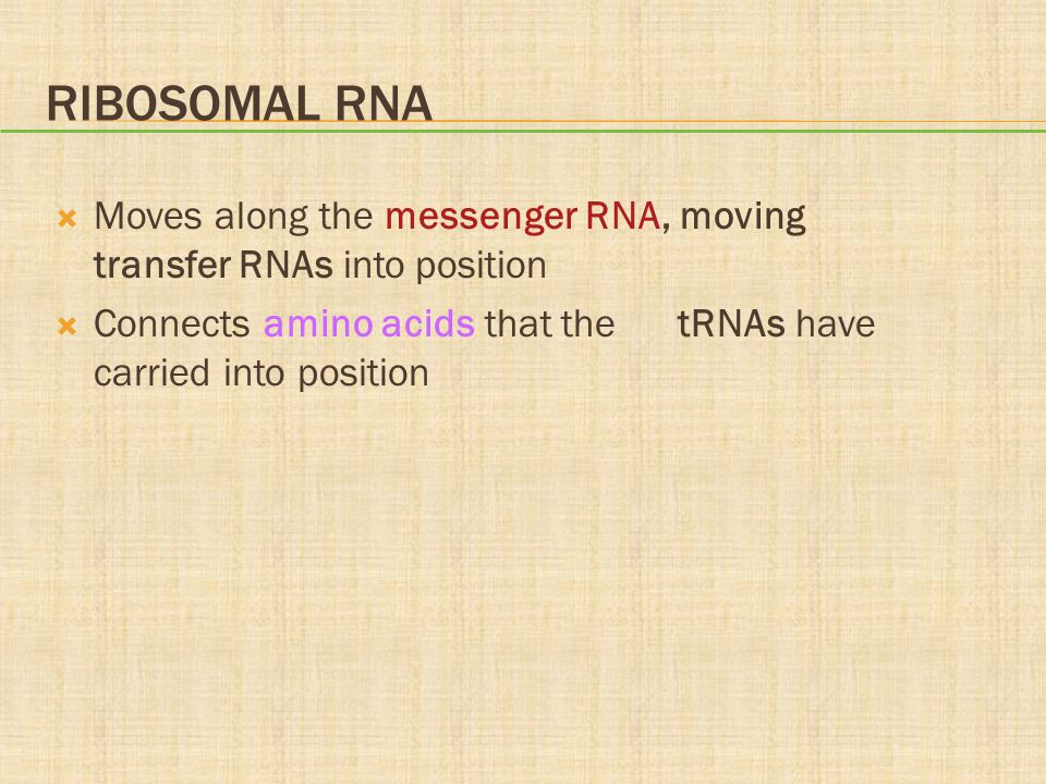 Ribosomal RNA Moves along the messenger RNA, moving transfer RNAs into position.