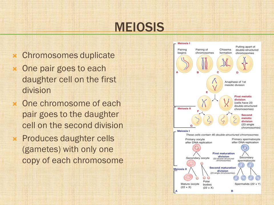 Meiosis Chromosomes duplicate