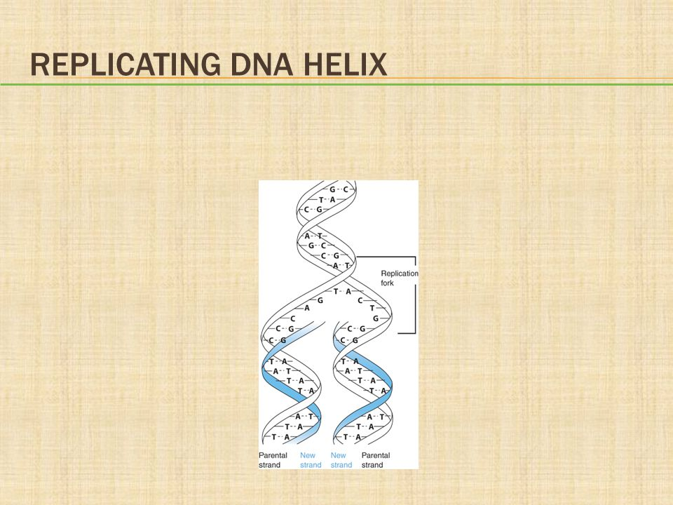 Replicating DNA Helix