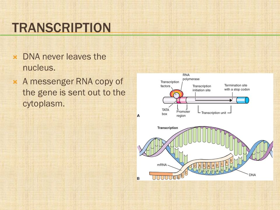 Transcription DNA never leaves the nucleus.