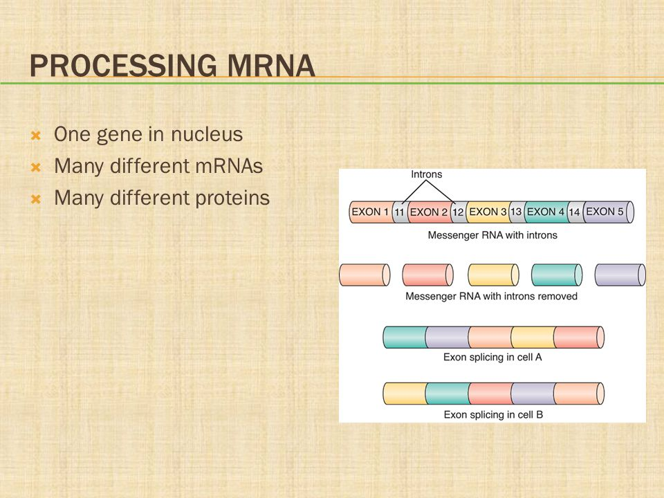 Processing mRNA One gene in nucleus Many different mRNAs