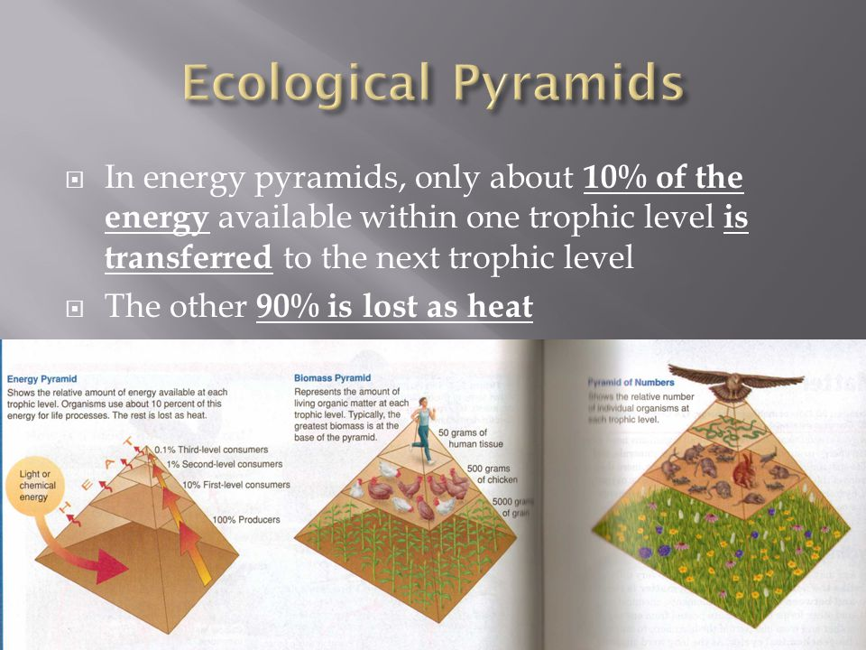 Ecological Pyramids In energy pyramids, only about 10% of the energy available within one trophic level is transferred to the next trophic level.