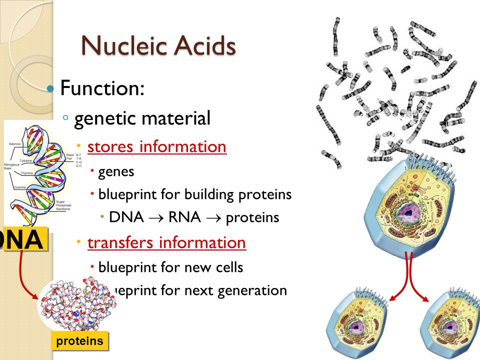 Nucleic Acids DNA Function: genetic material stores information