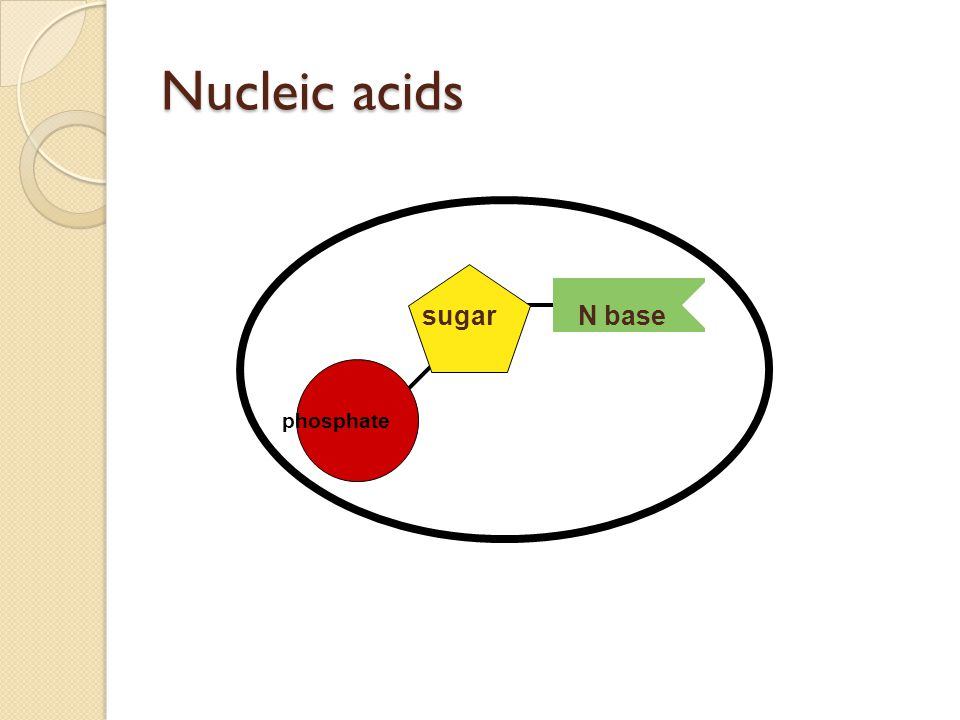 Nucleic acids phosphate sugar N base