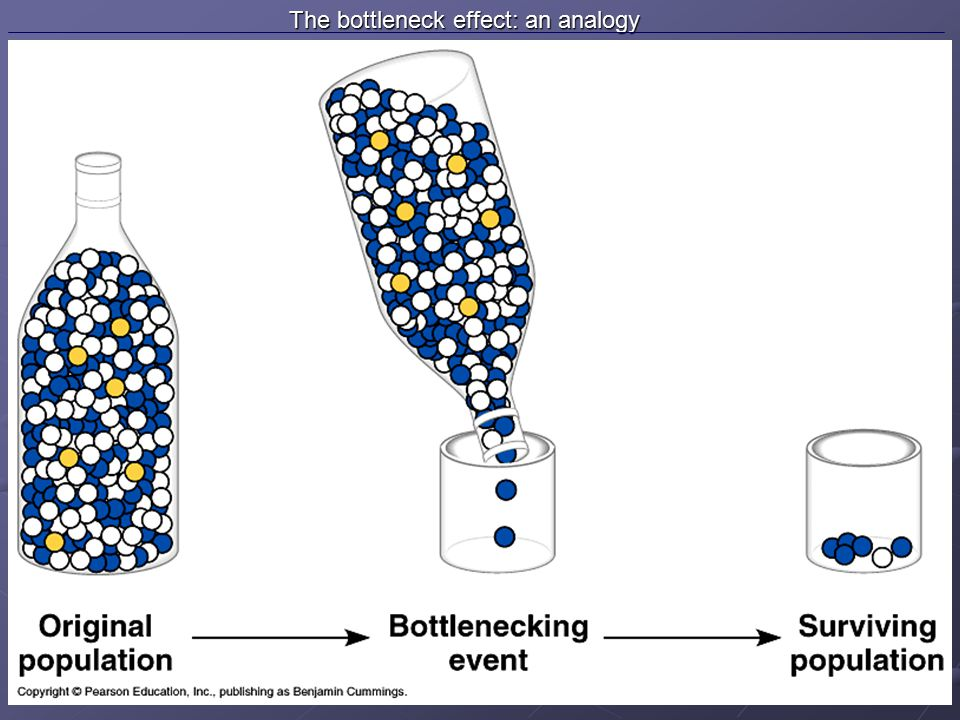 The bottleneck effect: an analogy