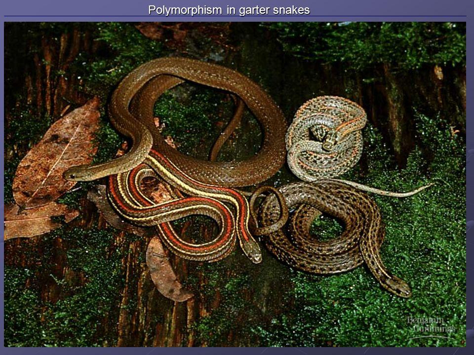 Polymorphism in garter snakes