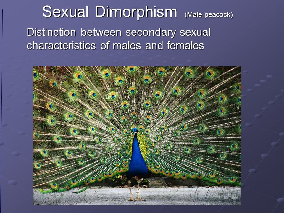 Sexual Dimorphism (Male peacock)