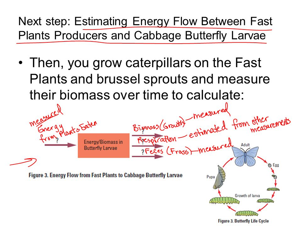 Next step: Estimating Energy Flow Between Fast Plants Producers and Cabbage Butterfly Larvae
