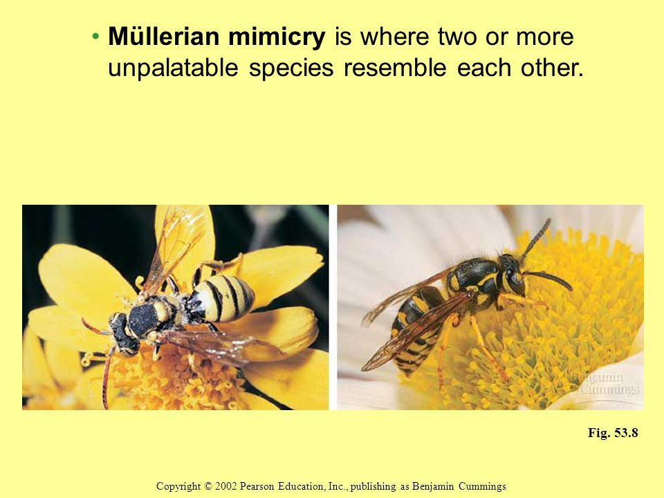 Müllerian mimicry is where two or more unpalatable species resemble each other.