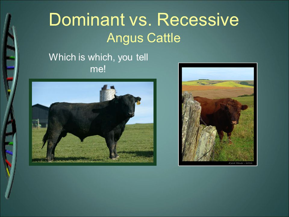 Dominant vs. Recessive Angus Cattle