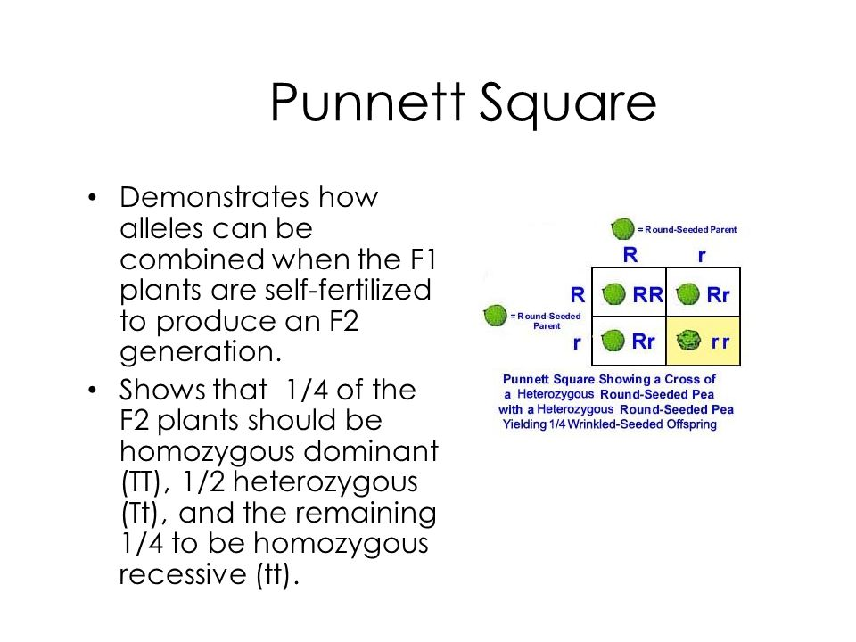 Punnett Square Demonstrates how alleles can be combined when the F1 plants are self-fertilized to produce an F2 generation.